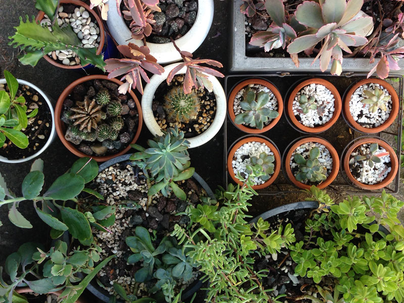 CACTI_SUCCULENT_MANY